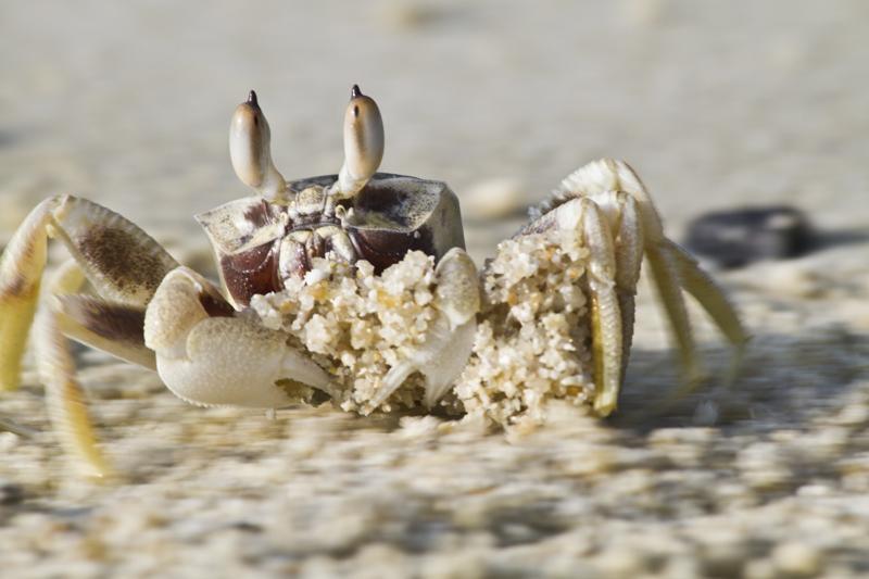 krab transports sand on beach, koh surin, thailand