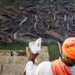 hundreds of catfishes at gadisar lake, Jaisalmer, Rajasthan, India